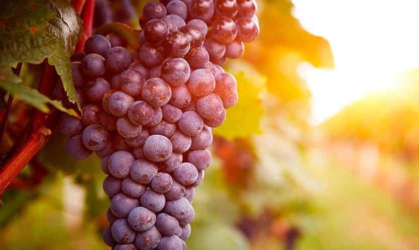 vino de pitarra
