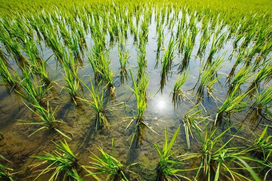 producción de arroz en extremadura
